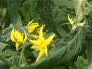 Сад и огород. Томаты. Выращивание.