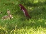 Горностай, кролики и танец