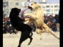 Собачьи БОИ 1