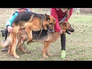 ВЯЗКА НЕМЕЦКИХ ОВЧАРОК Маркуса и Лимбы.Mating German shepherds. Одесса.
