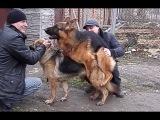 Как происходит ВЯЗКА СОБАК. Dog Mating. Немецкие овчарки. कुत्ता संभोग। Одесса.