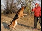 Немецкая овчарка Ральф(Акай ф Шварцен Вольф),5,5 лет.Одесса.
