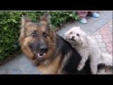 НЕОБЫЧНАЯ ВЯЗКА СОБАК. Funny mating dogs. कुत्ता संभोग।  الكلاب التزاوج مضحك.Одесса.