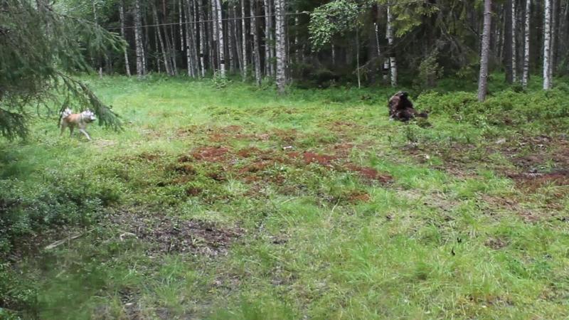 Притравка на медведя Алтай.