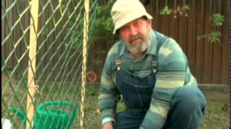 Выращиваем огурцы на сетке