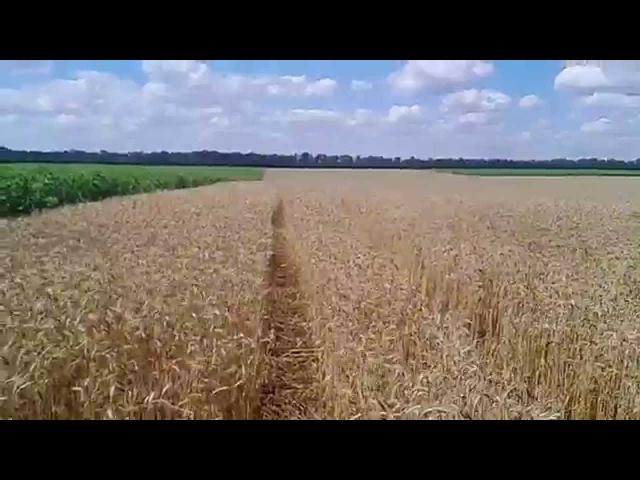 Результаты десикации ДИКВАТ на посевах пшеницы Results of desiccation DIQUAT on sowing of wheat