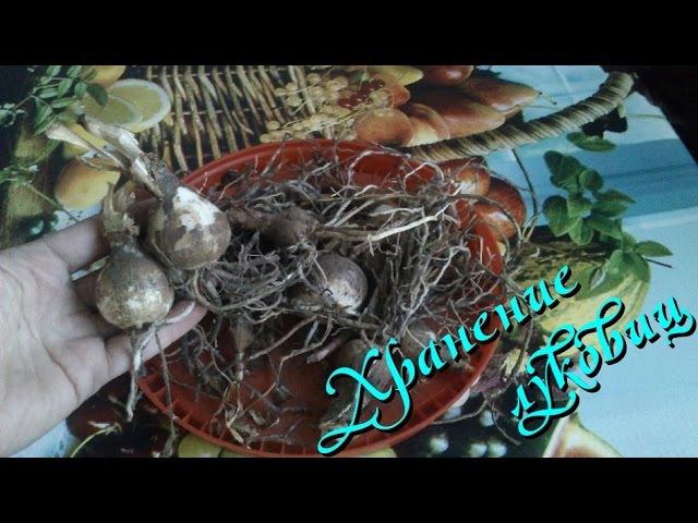 Луковичные растения (хранение луковиц зимой )