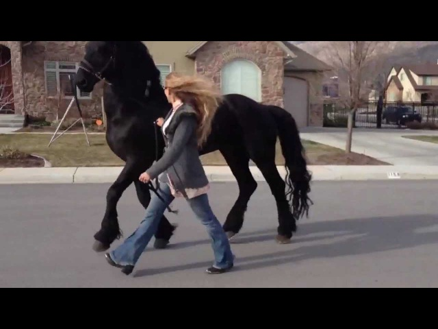 Going for a stroll with my Friesian Stallion, Apollo! :)