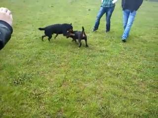 Собачьи бои немецкий ягдтерьер vs ягдтерьер 3