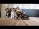 Синхронные танцы котят Милота