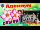 Адениумы выращенные из семян в домашних условиях Часть 6 я