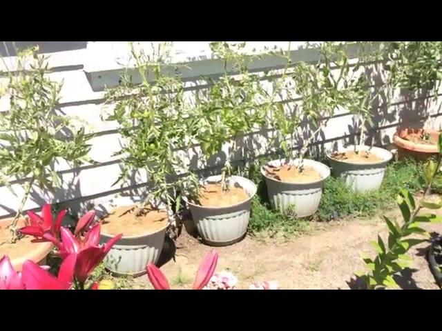 Томаты (помидоры) в ведрах Подписываем куст томата 19 июня 2014 Growing tomatoes