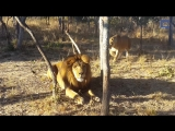 Lioness Sneaks Up on  Scares Lion