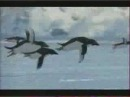 Пингвины научились летать - YouTube
