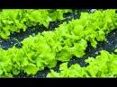 Все о выращивании салата сорта рассада посадка и уход