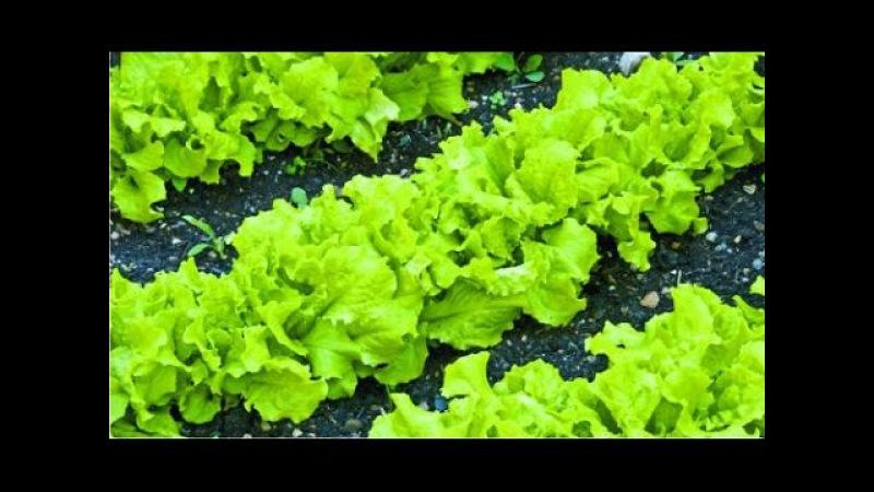 Все о выращивании салата: сорта, рассада, посадка и уход