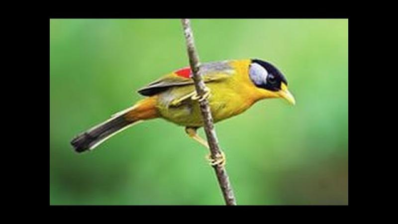 Пение птиц в лесу - Forest Birds Singing. Звуки природы - щебетание птиц. Успокаивающая муз ...