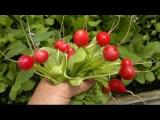 Редис,укроп в октябре..Garden radish.Советы огородникам.