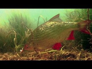Winter fishing wt Mormyshka for roach, rudd & perch. Зимная рыбалка на мормышку подводная съёмка.