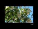 Людмила Сенчина - Белой акации гроздья душистые...
