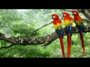 Scarlet Macaws - Costa Rica