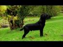 Black Labrador working gundog
