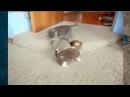 Котенок задирает щенка!