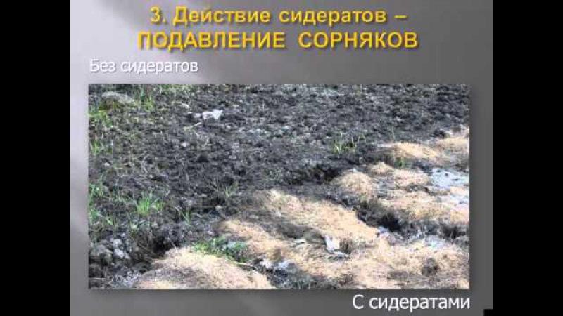 Сидераты Выращивание перцев и баклажан