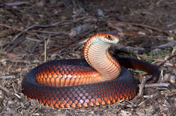 великолепная австралийская медноголовая змея, Austrelaps superbus