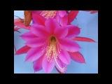 Kim Mai's Cactus Flowers