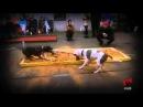 Питбули и Стафф терьеры лучшие собаки России .