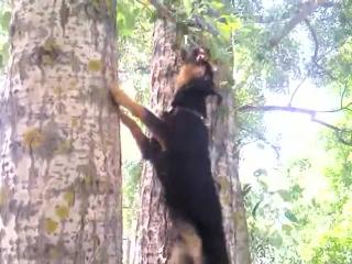 Ягдтерьер атакует дерево
