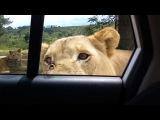 Leão abre porta do carro com os dentes durante safári | Leão abre porta de carro em safári