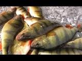Зимняя ловля окуня.Рыбалка с экспертами.