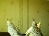 Как приручить попугая Нимфа - Корелла. 1