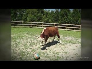 Все должны увидеть коров с этой стороны