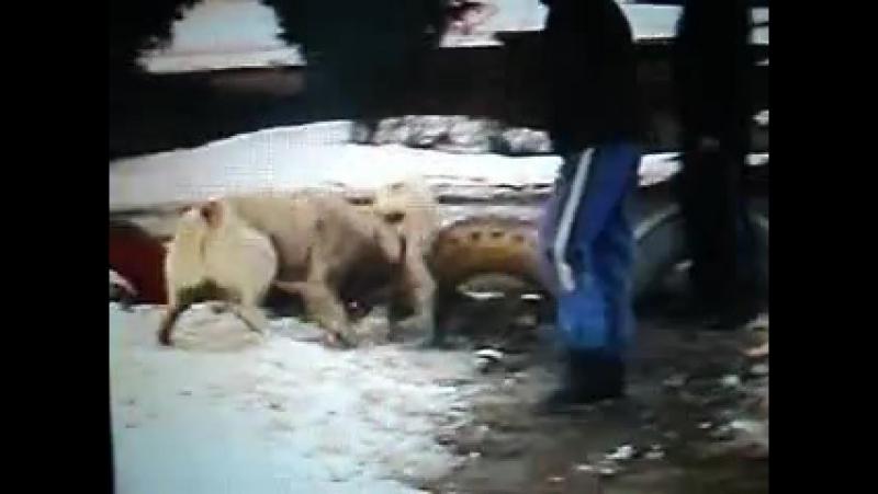 Собачьи бои американский бульдог Рокки vs КВ Акбай ч 3