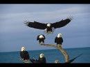 Bald Eagles of Alaska (HD 1080p)