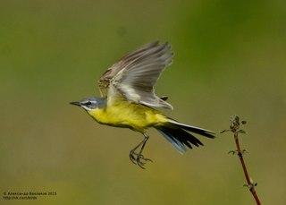 фото птиц трясогуска африканская