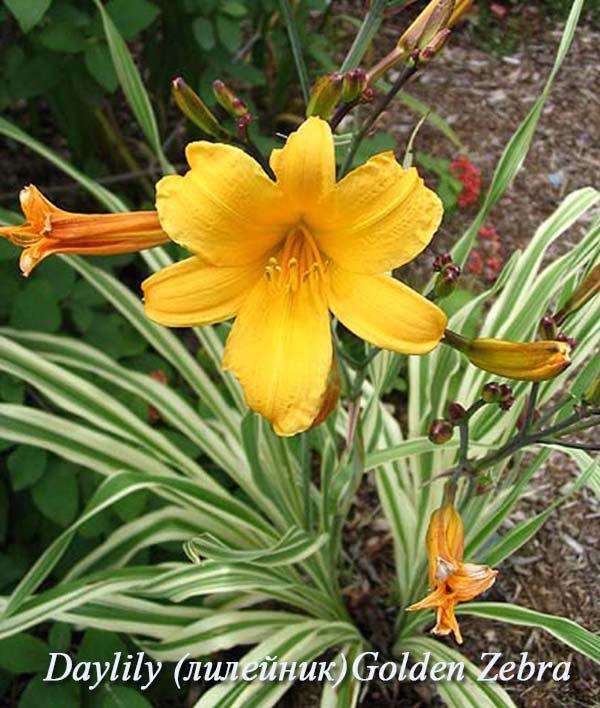 Лилейники-неприхотливые многолетние цветы-Daylily Golden Zebra