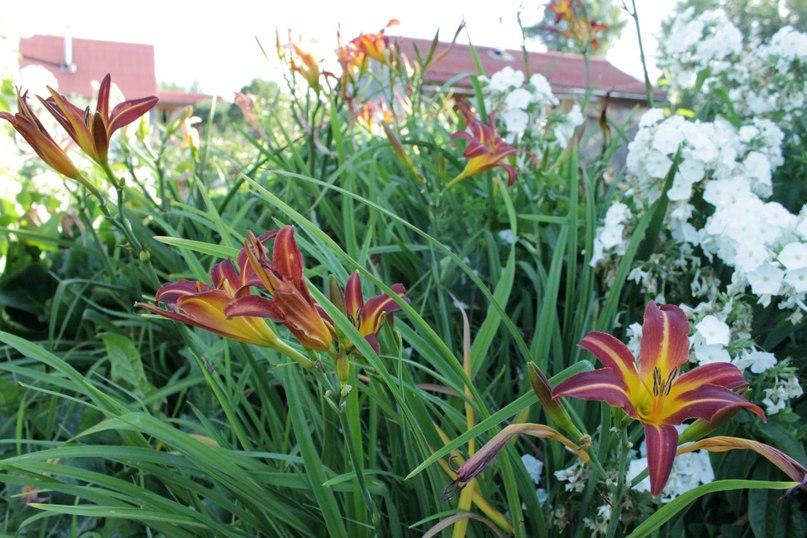 Лилейники-неприхотливые многолетние цветы-Лилейники и флоксы