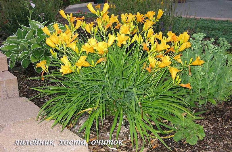 Лилейники-неприхотливые многолетние цветы-Лилейники, хоста, очиток