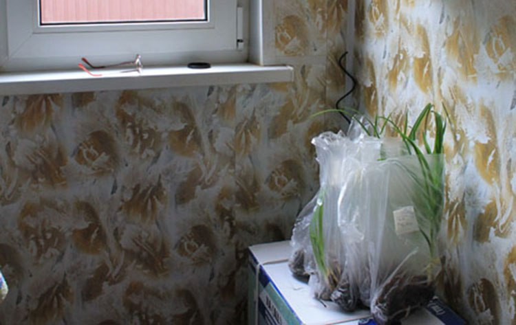 Лилейники-неприхотливые многолетние цветы-Лилейники подрастают дома в пакете с землей