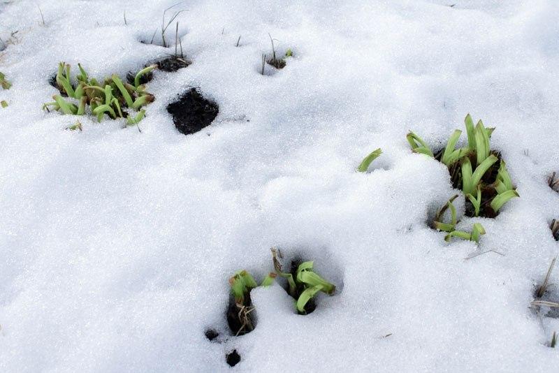 Лилейники-неприхотливые многолетние цветы