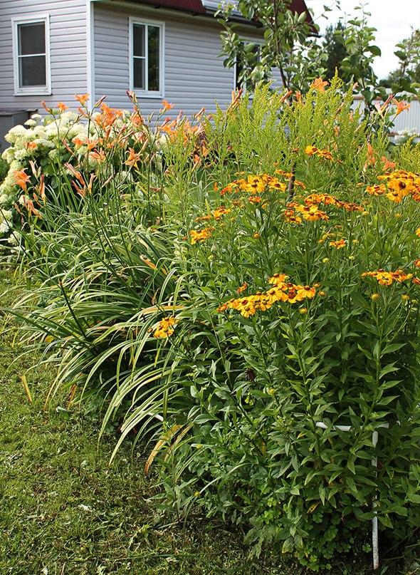 Лилейники-неприхотливые многолетние цветы-Лилейники, рудбекия, гортензия на заднем плане