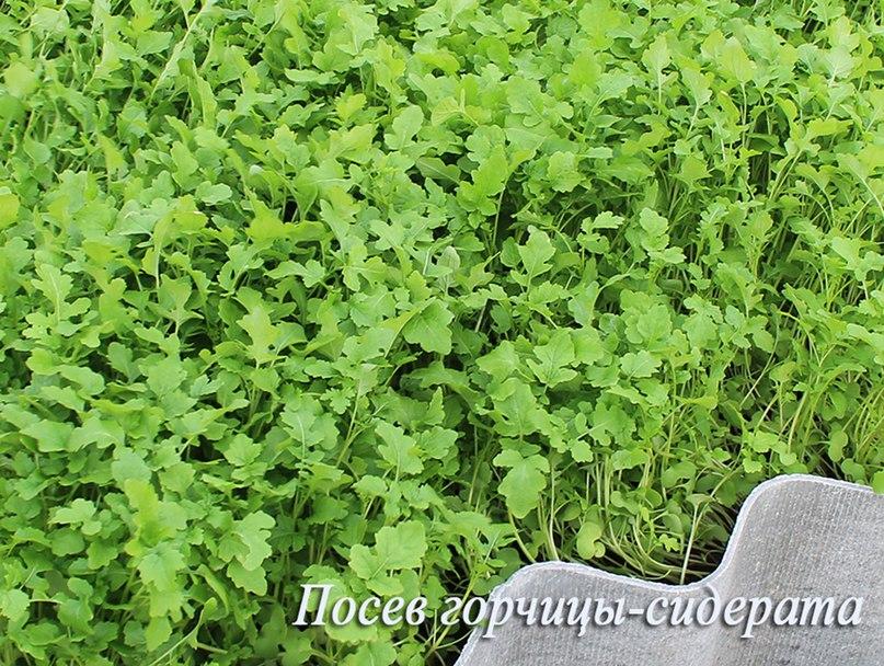 Как я сажаю озимый чеснок осенью-Посев горчицы-сидерата