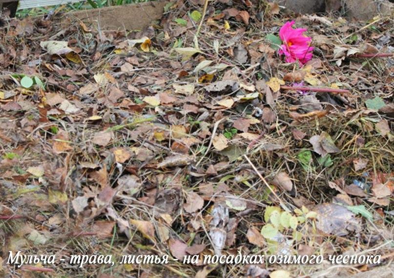 Как я сажаю озимый чеснок осенью-Мульча на посадках озимого чеснока