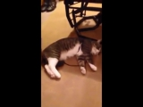 Кот не хочет идти гулять - the cat doesnt want to go for a walk