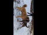 Собачьи бои шарпланинак vs анатолийская овчарка