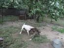 Собачьи бои американский бульдог Тори vs Тина драка за кусок мяса